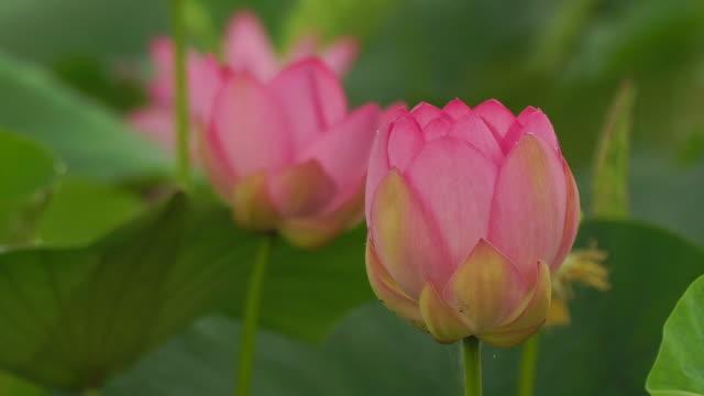vídeos de stock, filmes e b-roll de lótus (nelumbo nucifera) - lotus