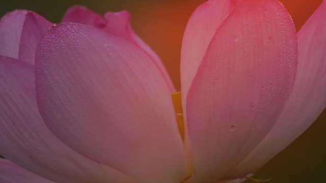 lotus (nelumbo nucifera) - pink sunrise bildbanksvideor och videomaterial från bakom kulisserna