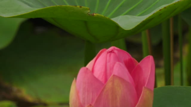 Lotus (Nelumbo nucifera) Lotus (Nelumbo nucifera), captured in Astrakhan nature reserve, Russia aquatic organism stock videos & royalty-free footage
