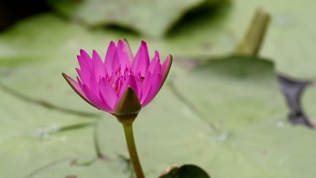 Lotus. video