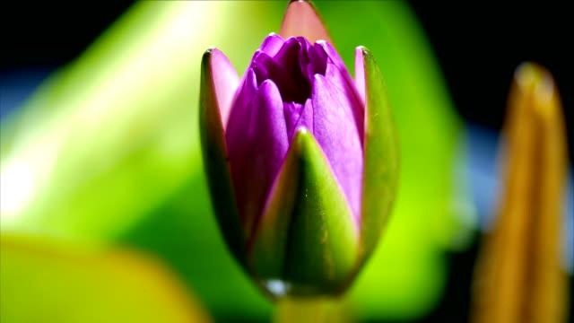 lotus seerose blüht zeitraffer dci 4k - einzelne blume stock-videos und b-roll-filmmaterial