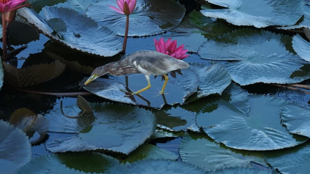 lotuses in the lake and bird - porcelain stock videos & royalty-free footage