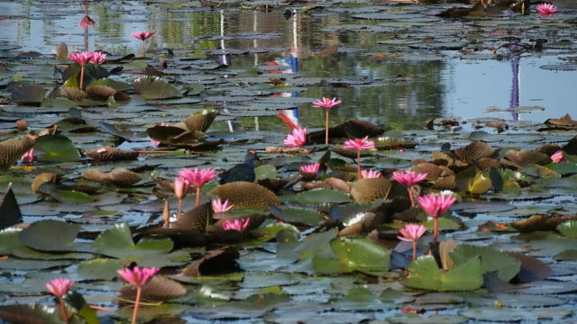 Lotuses in the lake and bird video