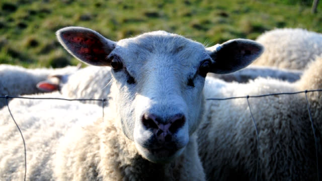 loud sheep in herd - sheep stock videos and b-roll footage