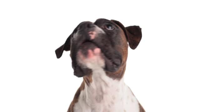 vídeos de stock e filmes b-roll de doggie lovable pugilista - happy dog