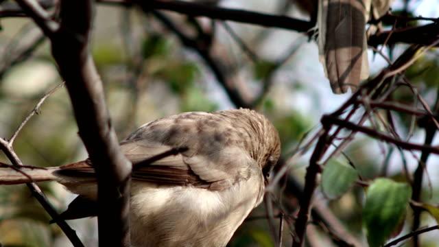 Love Bird, Jungle Babbler - vídeo