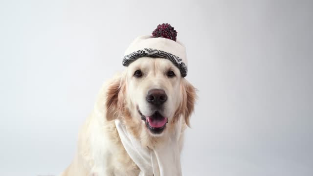 love for pets - funny portrait of a golden retriever in a warm scarf on a white background - cappello video stock e b–roll