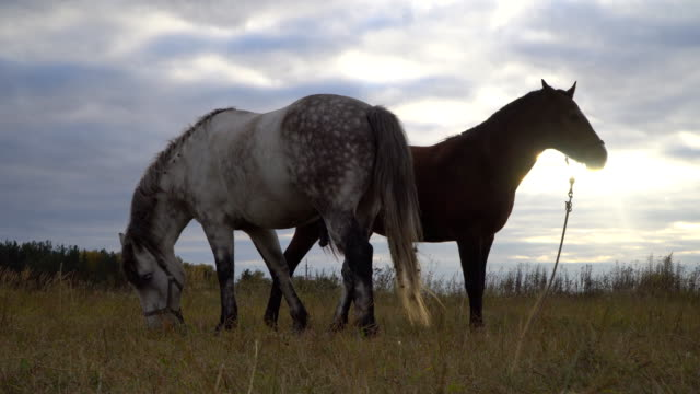 love game and courtship between  two horses on the autumn meadow - briglia video stock e b–roll