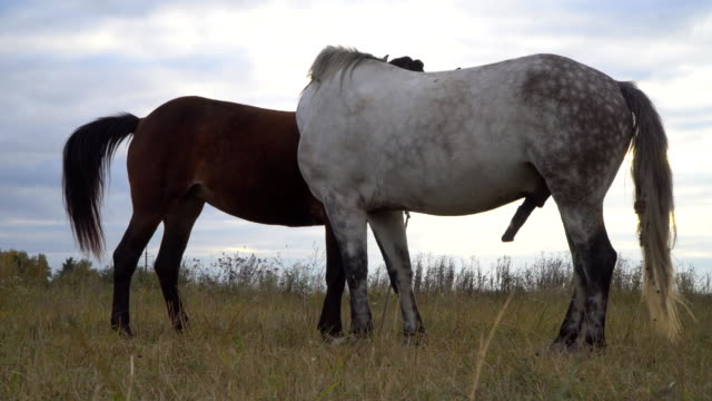 love game and courtship between  two horses on the autumn meadow