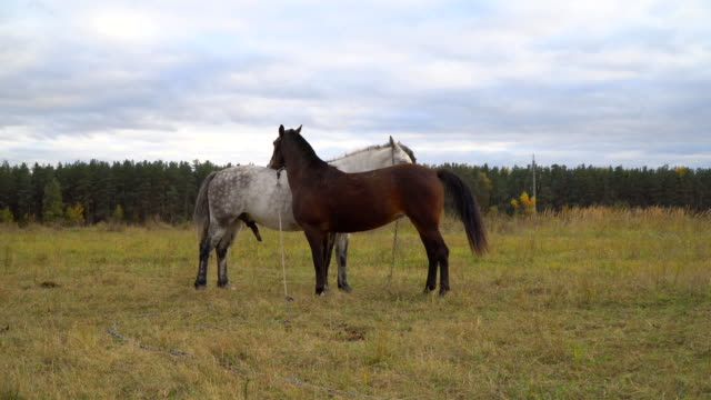 love game and courtship between  two horses on the autumn meadow - stallone video stock e b–roll