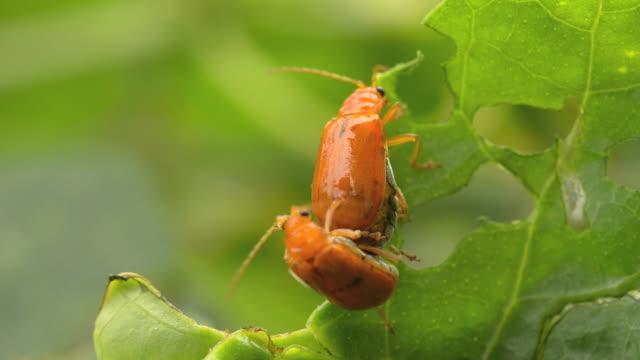 miłości para dokonywanie beetle - zachowanie zwierzęcia filmów i materiałów b-roll