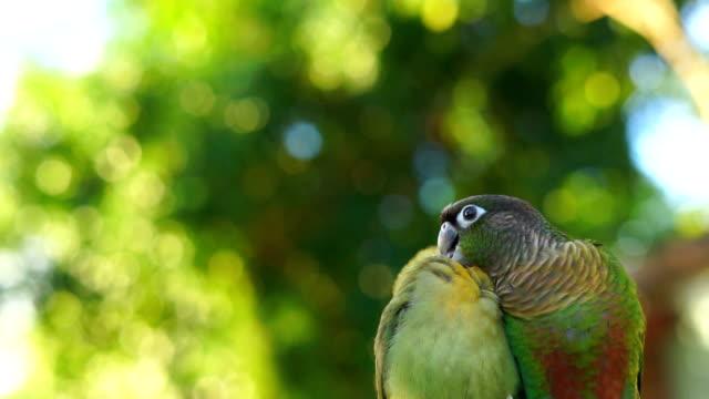 lovebird and green cheek conure - zachowanie zwierzęcia filmów i materiałów b-roll