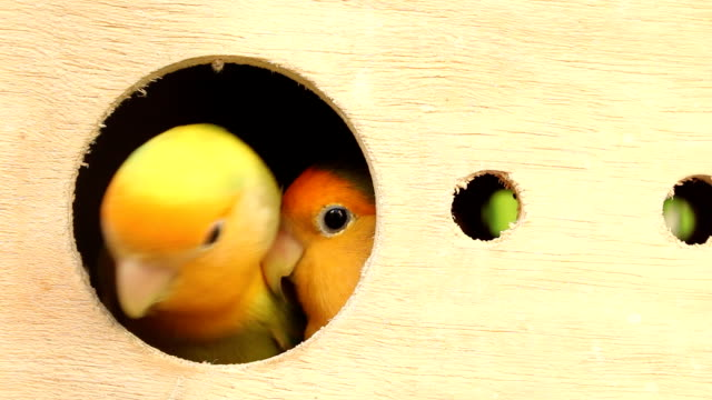 lovebird in wood box video