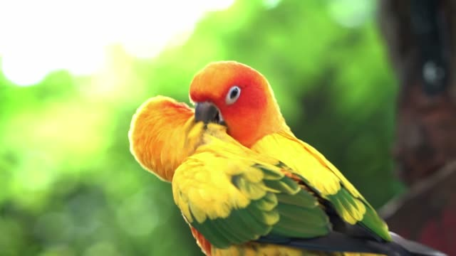 Lovebird parrots sitting together, preening, find food, funny action in the natural world