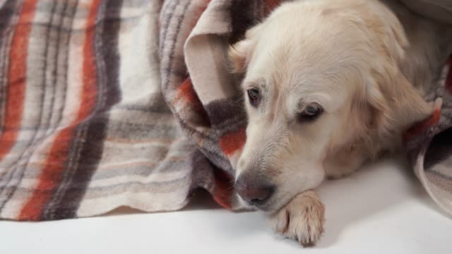 vídeos de stock e filmes b-roll de loved pets at home - the big kind dog rests in the fall or in the cold winter under a rug - aconchegante
