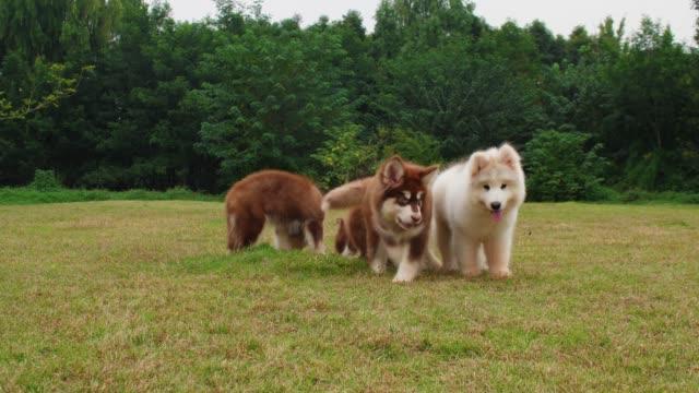 adorabile cagnolino malamute dell'alaska all'aperto che gioca sulla prateria. - malamute video stock e b–roll
