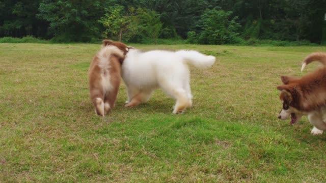 lovely alaskan malamute puppy dog outdoor playing on the grassland. - malamute video stock e b–roll