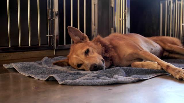 lovely big ginger homeless dog has rest lying on grey rug