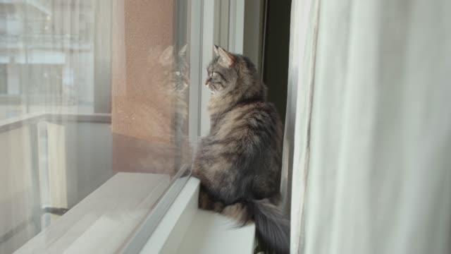 härlig katt sitter på fönsterbrädan och tittar runt - katt inomhus bildbanksvideor och videomaterial från bakom kulisserna