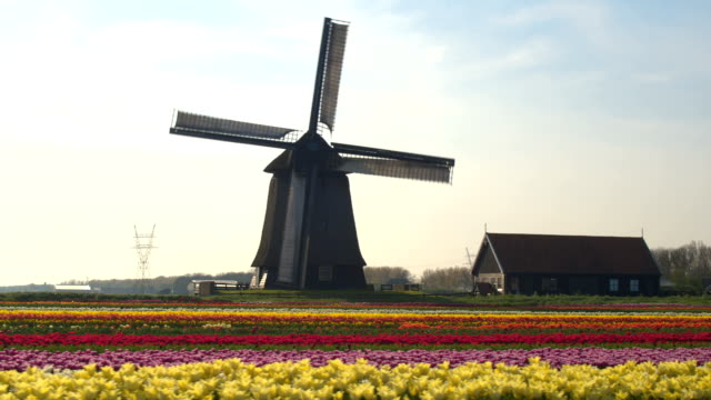 aerial: lovely colorful blooming tulips in rows and old working wooden windmill - dutch architecture stock videos & royalty-free footage