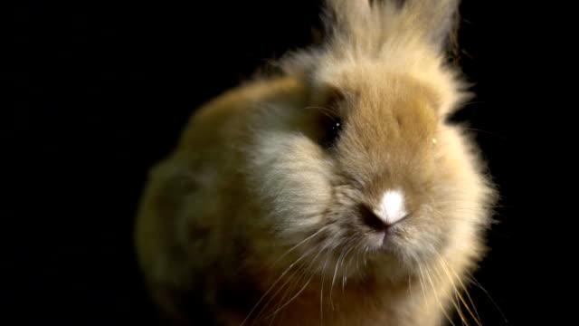 Beim Sitzen in der dunklen, Zeitlupe Nase schöne Hauskaninchen lustige schnüffeln – Video