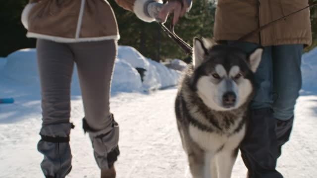 lovely husky walking at winter day - cane husky video stock e b–roll