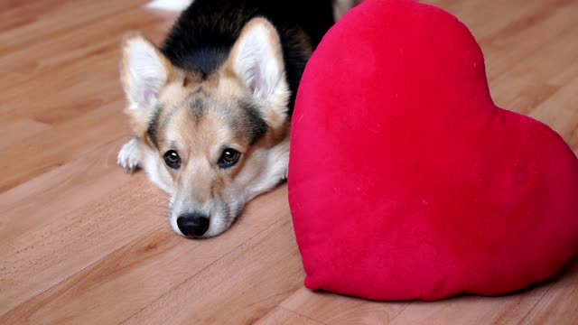 A lovely loving dog with a red heart congratulates Valentine's Day, All Lovers' Day. video