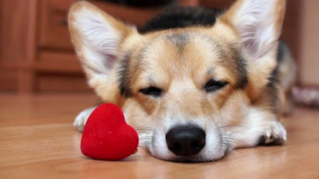 Video A lovely loving dog with a red heart congratulates Valentine's Day, All Lovers' Day.