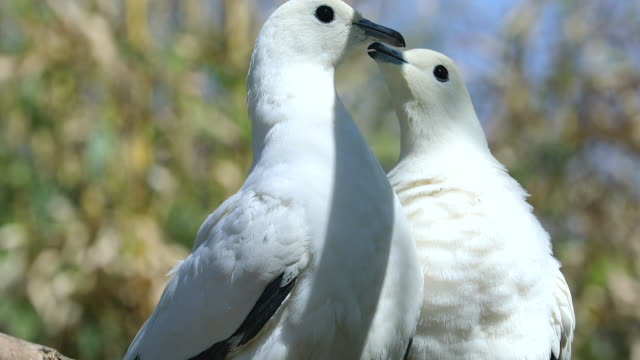 Lovely Pied Imperial Pigeon Couple video