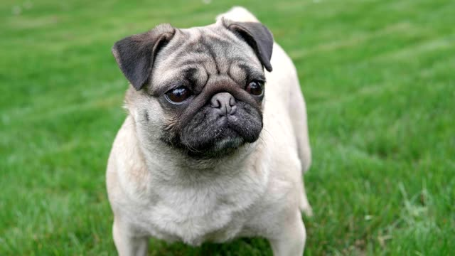A lovely pug standing on the greensward