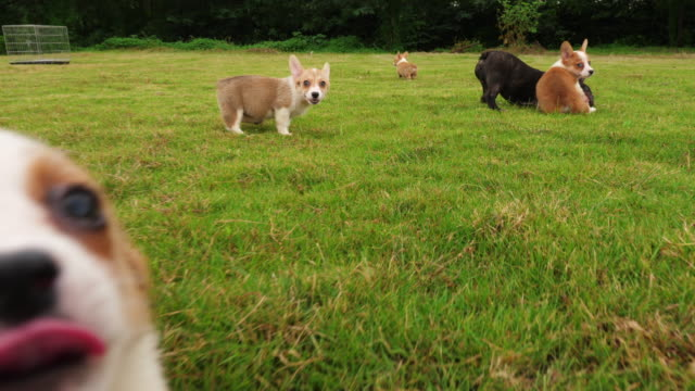 Lovely puppy dog playing outdoor in the lawn,4k Welsh Corgi and French bulldog puppy playing together on lawn and one Corgi puppy running around the grass outdoor in the Park ,  running at the camera in slow motion wide angle shooting  4k group of animals stock videos & royalty-free footage