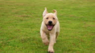 istock Lovely puppy Labrador running to the camera on the lawn, 4k 1073535242