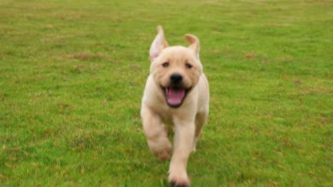 adorabile cucciolo labrador che corre verso la telecamera sul prato, 4k - carino video stock e b–roll