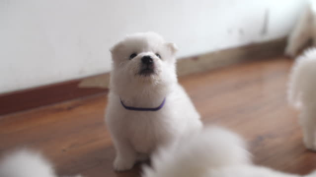 vídeos de stock e filmes b-roll de lovely samoyed puppy indoor - samoiedo