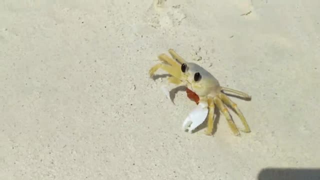 lovely small beach crab walking on the sand and funny scratching and turning his eye. aruba, eagle beach. - granchio video stock e b–roll
