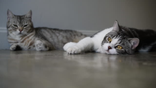 vídeos de stock, filmes e b-roll de lindos dois gatos tabby com belos olhos amarelos está e brincar na sala - felino