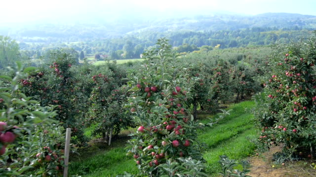 Low aerial view of the apple orchard video