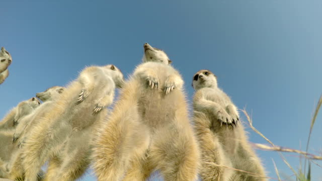 Low angel view of a group of meerkats sunning themselves. video