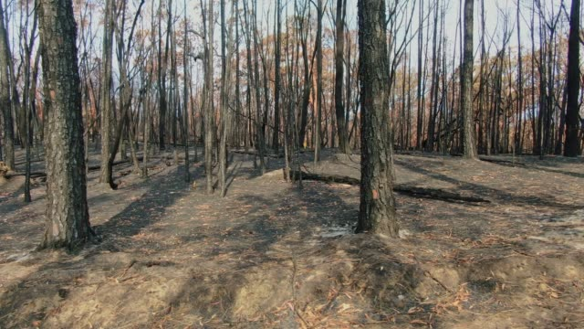 Low angle aerial drone flight through a forest near Sydney, New South Wales, Australia, heavily burnt by the devastating bushfire season during the last months of 2019 with dead tree trunks and ash.