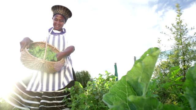 vídeos de stock e filmes b-roll de low angle african business woman harvesting herbs - agricultora