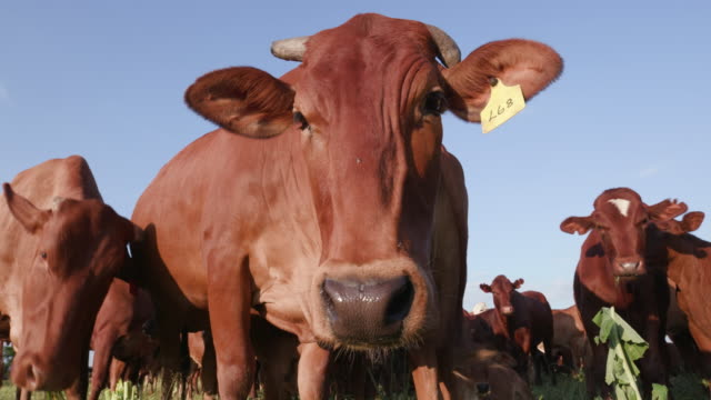 Low angle close-up view of free range cattle with blue sky in the background video