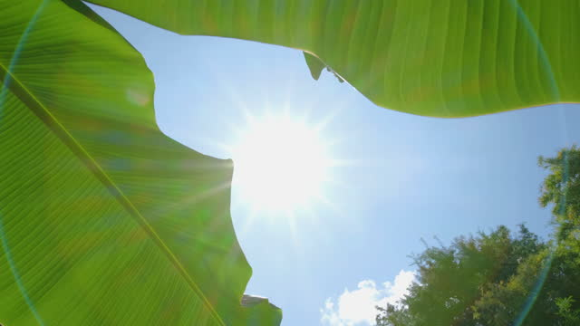 low angle of green banana leaf with sunlight shining through the leaf with the rays and the wind blowing on blue sky