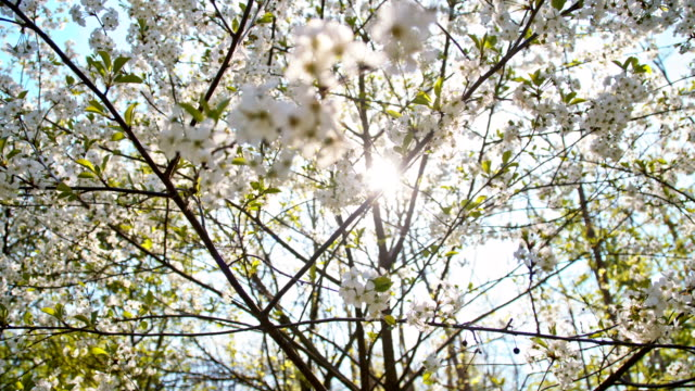 SLO MO Low angle of the blooming cherry tree video