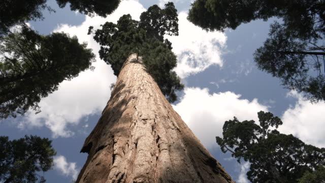 low-winkel-aufnahme eines riesigen mammutstammes bei calaveras großen bäumen - staatspark stock-videos und b-roll-filmmaterial