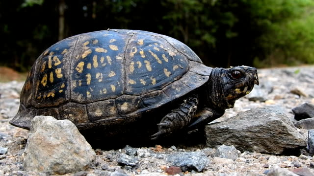 Low angle shot of box turtle with pickup truck passing over it on dirt road