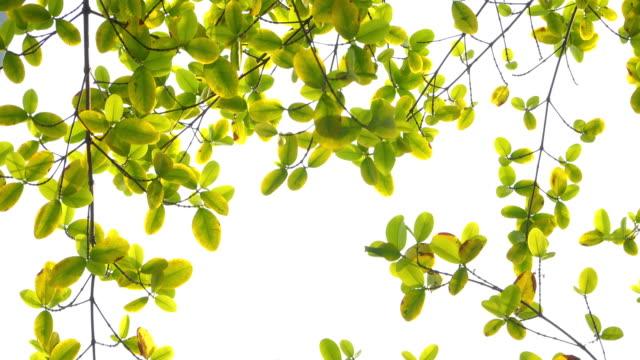 low-winkel-aufnahme von grünem blatt mit windblasen in weißem himmel - indochina stock-videos und b-roll-filmmaterial