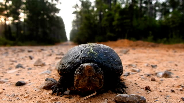 Low angle shot of mud turtle facing camera on forest road