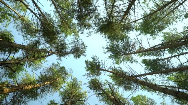 松林の低角ショット。 ビデオ