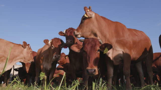 Low angle static view of free range cattle video