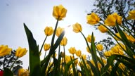 istock Low angle view of beautiful yellow tulip flower field in wind, 4k backlit real time tilt footage. 1307315387